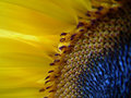 Sunflower center closeup with pollen grains and sun shining through bright yellow petals Royalty Free Stock Images