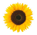 Sunflower with clipping path close up of isolated on white background Royalty Free Stock Images