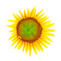 Sunflower clipping path isolated on white background with Royalty Free Stock Photo