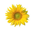 Sunflower with clipping path isolated on white background Stock Photo