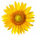 Sunflower with clipping path, on white background Stock Photos
