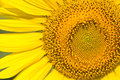 Sunflower close up of Stock Images