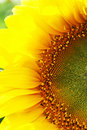 Sunflower close-up Royalty Free Stock Image