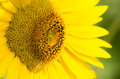 Sunflower close up against green background Royalty Free Stock Photography