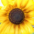 Stock Image Sunflower