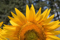 Sunflower close up beautiful background Stock Images