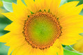 Sunflower close up big yellow Royalty Free Stock Image