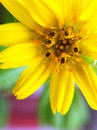 Sunflower close up flora concept Royalty Free Stock Images