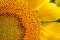 Sunflower closeup Royalty Free Stock Photos