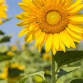 Sunflower closeup in  field Royalty Free Stock Photo