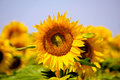 Sunflower closeup on a field in summer Stock Image