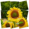 Sunflower closeup fully detailed of Stock Image
