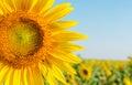 Sunflower closeup Royalty Free Stock Photo
