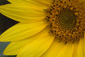 Sunflower Closeup 2 Royalty Free Stock Photo