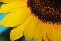 Sunflower Closeup 3 Royalty Free Stock Photo