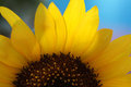 Sunflower Closeup 4 Royalty Free Stock Photo