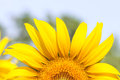 Sunflower closeup, Top part Closeup of Blooming sunflower Royalty Free Stock Photo