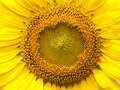 Sunflower closeup the very beautiful blossom flower Royalty Free Stock Image