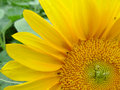 Sunflower closeup of a yellow Royalty Free Stock Photo