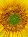 Sunflower closeup of a yellow sunflowers Stock Images