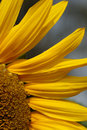 Sunflower closeup of a yellow sunflowers Stock Photography