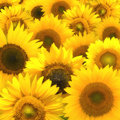 Sunflower composition Royalty Free Stock Images