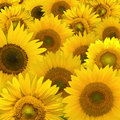 Sunflower composition Royalty Free Stock Photo