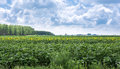 Sunflower crop near field cultivated with corn Royalty Free Stock Photo