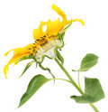 The sunflower cut half-and-half Royalty Free Stock Photography