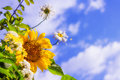 Sunflower and daisies against blue sky Royalty Free Stock Photo