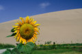 Sunflower in the desert of dunhuang china Royalty Free Stock Image