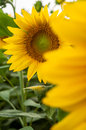 Sunflower details in italian landscape Stock Image
