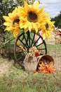 Sunflower display for thanksgiving Royalty Free Stock Photos