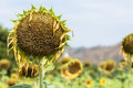 Sunflower droop dying flower plan Stock Photo