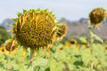 Sunflower droop dying flower plan Stock Photos