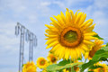 Sunflower ecology environment with electricity pylon concept of Stock Photo