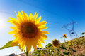 Sunflower and Electric Power Royalty Free Stock Photo