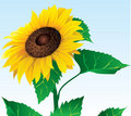 Sunflower.eps Stock Image