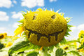 Sunflower face Royalty Free Stock Photo