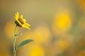 Sunflower facing inward Royalty Free Stock Photo