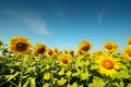 Sunflower farm with day light and blue sky Royalty Free Stock Photo