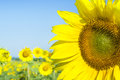 Sunflower on a farmer field Royalty Free Stock Photo