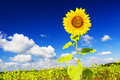 Sunflower on a farmer field Stock Photo