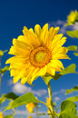Sunflower on a farmer field Royalty Free Stock Photos
