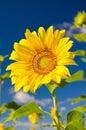 Sunflower on a farmer field Royalty Free Stock Photo