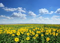 Sunflower field. Royalty Free Stock Photo