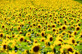Sunflower field. Royalty Free Stock Photos