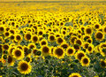 Sunflower field Royalty Free Stock Photo