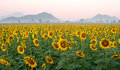 Sunflower field against beautiful sky background Royalty Free Stock Photo
