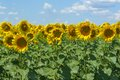 Sunflower field against blue sky Royalty Free Stock Photo